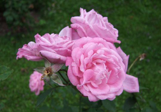 Mit dornen zeichnen rose ► Rosen
